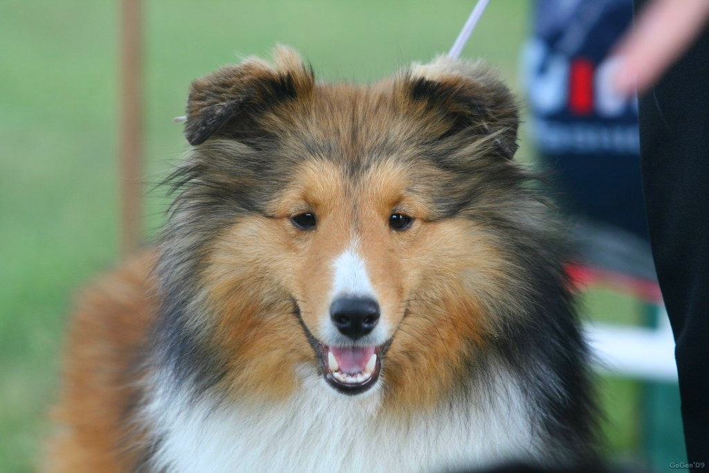 http://www.sheltie.cz/img/medievals_tropical_sweet_dream/img00002.jpg